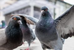 Lucruri incredibile despre inteligenta si abilitatile porumbeilor