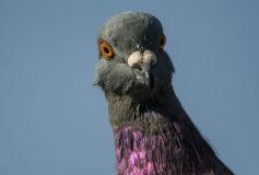 Hranirea corecta a porumbeilor – ce inseamna sa le oferi vitamine din belsug?